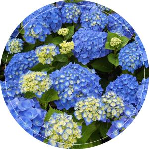 blauw-bela