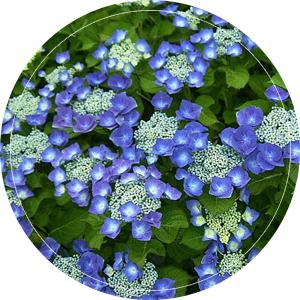 blauw-bluemeise