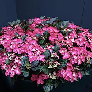 hydrangea-macrophylla-dark-angel-300x300