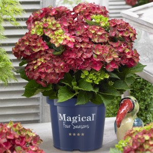 Hydrangea macr. Magical Ruby Tuesday