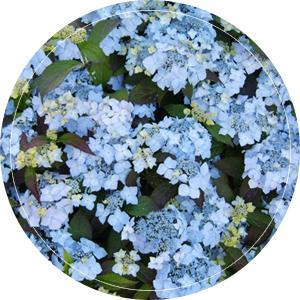 blauw-bluedeckle