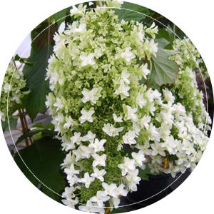 eikenblad-hortensia