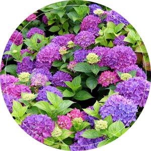 paars-hobergina