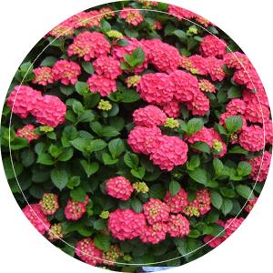 rose-alpen-gluhe