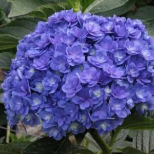 hydrangea_macrophylla_together_youmefive_plantipp_new_variety_plant_breeders_rights_eu20060161_2